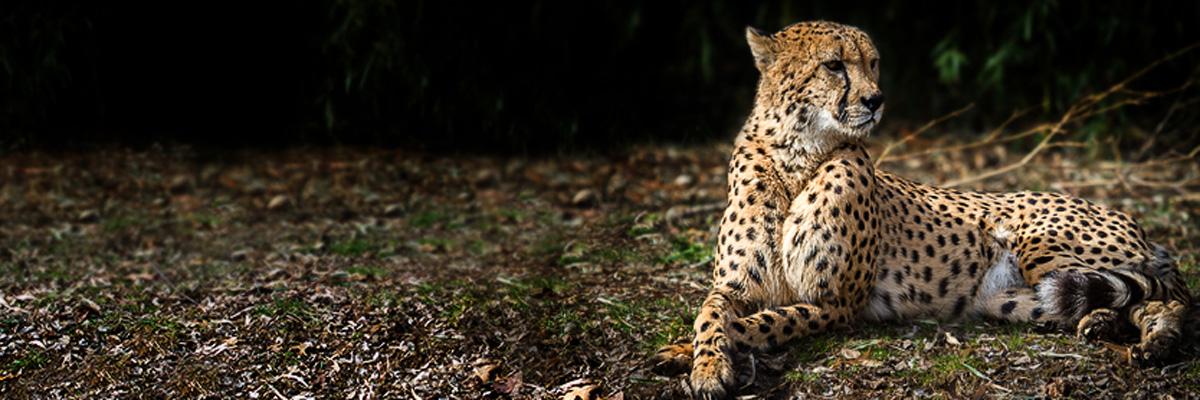 Cheetah photo by BJ Denning